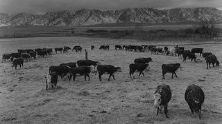 Manzanar Cattle