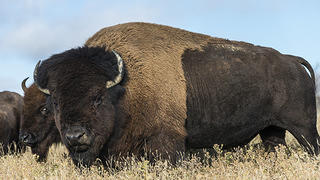 A bison in the Black Hills