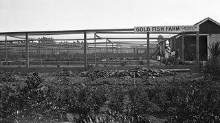 C.M. Furuta Gold Fish Farm, C. 1928