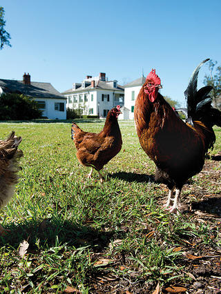 Chickens outdoor on the grounds