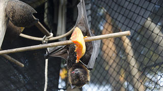A sick fruit bat is monitored by a DMWR biologist. Preserving the fruit bat, American Samoa's only native mammal, was a founding priority of the National Park.