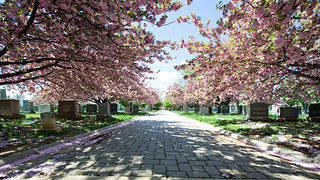 The main road in the Congressional Cemetery with cherry blossoms on either side