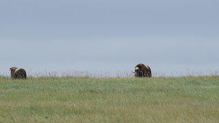 Muskox near Cape Nome.