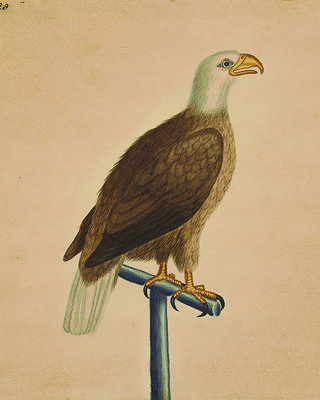 Bald eagle. Credit: The Lenhardt Collection of George Edwards' Watercolors at Drayton Hall