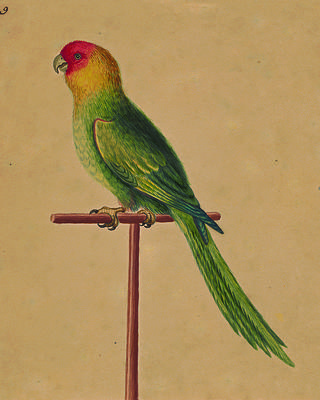 Colorful Carolina Parrot. Credit: The Lenhardt Collection of George Edwards' Watercolors at Drayton Hall