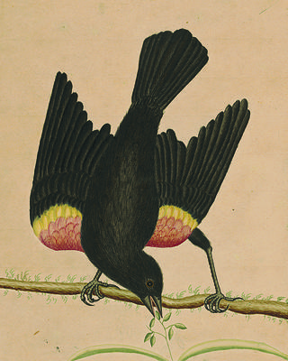 The Red-winged Blackbird with its wings extended. The Lenhardt Collection of George Edwards; Watercolors at Drayton Hall