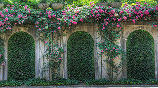 A rose wall on the outside of the Swan House.