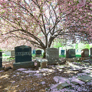 Cherry Blossom tree shading a row of gravestones at Congressional Cemetery