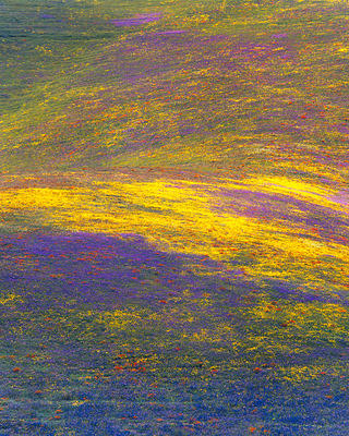 Monet's Carpet: Below's Coreopsis; Phacelia,; Bentham's Lupine; and California Poppies, Gorman, Peace Valley, Tehachapi Mountains, Los Angeles County, as part of the 50 Year Bloom.