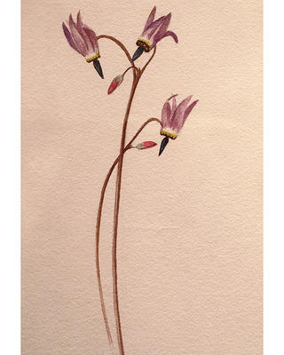 Shooting Stars by Grace Hudson, watercolor on paper. No date.