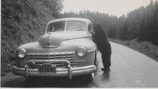 A bear peeks into a car on a road.