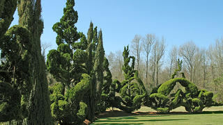 Unique twisting shapes make up the topiary shapes at Pearl Fryar's Topiary Garden.