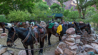 Mules at the Phantom Ranch.
