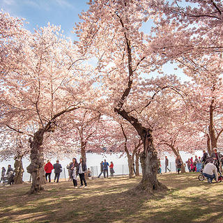 Trees in bloom at the Tidal Basin.