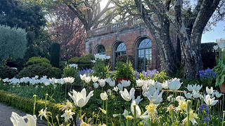 Yellow and white tulips in front of a brick structure with two windows.