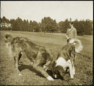 A man with two large dogs frolicking in a meadow.