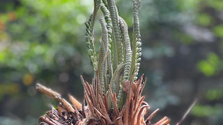 A close up of a sago palm plant with new green shoots coming up from a brown base.