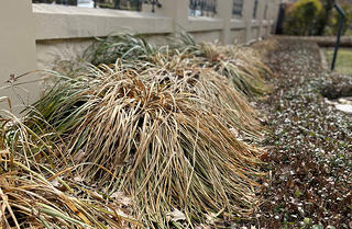 A view of the decimated fenceline flower beds in February. They are brown and dead.