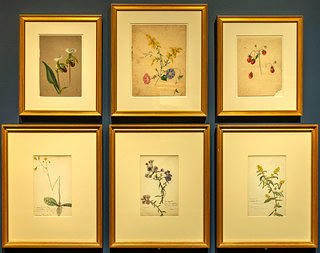 A set of six frames with which are a series of drawings of flowers of varying sizes and species. The top three frames are slightly smaller then the bottom, though all frames are gold in color with off white matting.